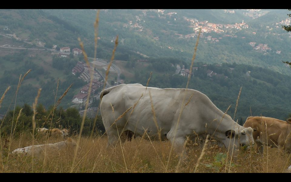 mucche-saint-gree